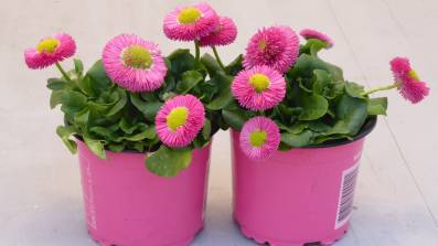 Bellis- Gänseblümchen